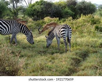 Nakuru, Kenya, Africa - February 25, 2020: Zebras grazing along savannah, Lake Nakuru, Kenya, Africa