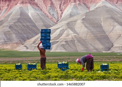 Nallihan, Turkiye-May 16, 2012: Unidentified women workers harvest cabbage in the field as a seasonal worker in agricultural production  sector in Anatolia, Nallihan ,Turkey Country