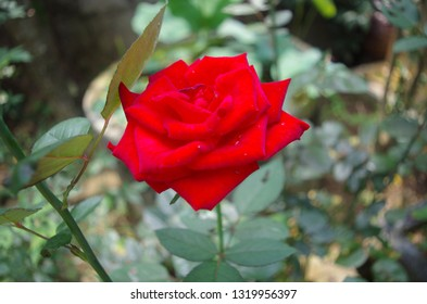 Nam Dan district, Nghe An province, Vietnam: February 22, 2019: Red roses