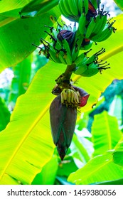 Nam Wa banana blossom in the nature, Thailand.