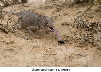 Namaqua chameleon (Chamaeleo namaquensis), hunting for bugs, Namib desert