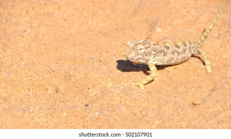 The Namaqua Chameleon hunting insects in the desert in Namibia Africa