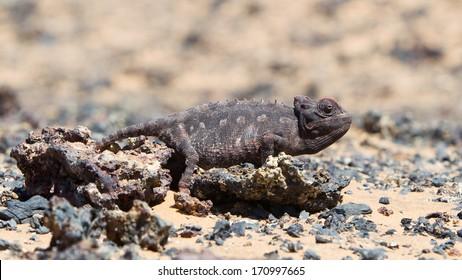 Namaqua Chameleon hunting in the Namib desert, Namibia