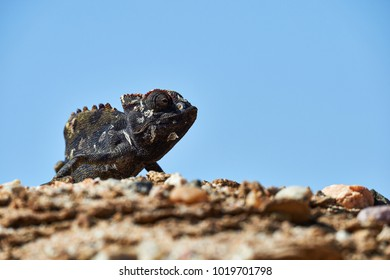 Namaqua chameleon is a large chameleon species and lives in in southern Africa