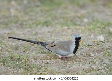 Namaqua Dove - Oena capensis, beatiful small dove from African savannas and bushes, Etosha National Park, Namibia.