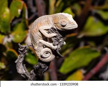 Namaqua Dwarf Chameleon (Bradypodion occidentale)