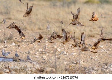 Namaqua Sandgrouse and Double banded Sandgrouse  clatter away from a desert waterhole to escape attacks by Lanner falcons and other fast flying raptors. Kalahari, South  Africa