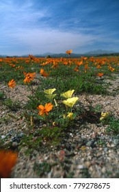 Namaqualand poppy flowers following the sun. Phototropism. South Africa