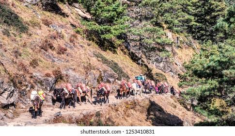 Namche Bazar, Nepal - October 26, 2018:  Donkey train carrying supplies walk on Everest Base Camp Trek route near Namche Bazar, Himalayas, Nepal
