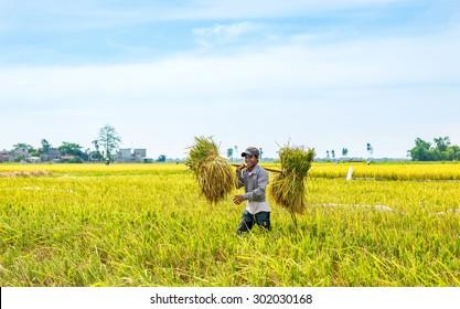 NAMDINH VIETNAM - JUN 14: Farmers harvesting rice in their fields on Jun 14, 2015 in Namdinh, Vietnam. This is the main shipping method farmers.