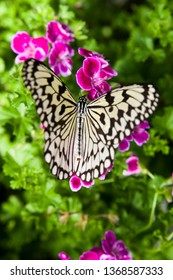 The name of the butterfly is Tree Nymph Butterfly,Rice Paper butterfly. Scientific name is Idea leuconoe Erichson, 1834. The name of these flowers is a Geranium,Pelargonium,Hortorum.