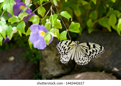 The name of the butterfly is Tree Nymph Butterfly,Rice Paper butterfly. Scientific name is Idea leuconoe Erichson, 1834.