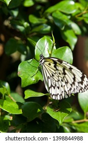 The name of the butterfly is Tree Nymph Butterfly, Rice Paper butterfly.