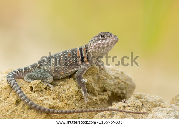 """The name """"collared lizard"""" comes from the lizard's distinct coloration, which includes bands of black around the neck and shoulders that look like a collar."""