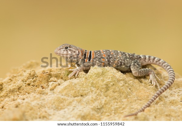 "The name ""collared lizard"" comes from the lizard's distinct coloration, which includes bands of black around the neck and shoulders that look like a collar."