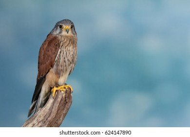 The name kestrel (from French crécerelle, derivative from crécelle, i.e. ratchet) is given to several different members of the falcon genus,