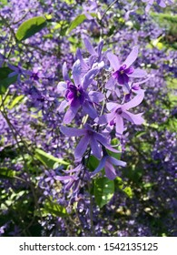 """The name of purple flower is """"andpaper Vine, Queen's Wreath, Purple Wreath, Bluebird Vine, Petrea volubilis Jacq. This is a popular tropical vine that resembles a Wisteria or lilac."""