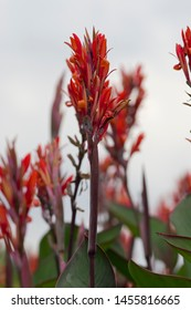 The name of these flowers is  Canna. Scientific name is Canna.