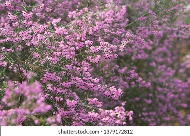 The name of these flowers is Channeled heath,Black-anthered Heath,Black-eyed Heath. Scientific name is Erica canaliculata.