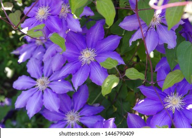 The name of these flowers is  Clematis. Scientific name is Clematis.