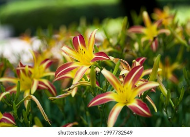 The name of these flowers is  Daylily. Scientific name is Hemerocallis.The name of this Daylily is Gay Troubadour.