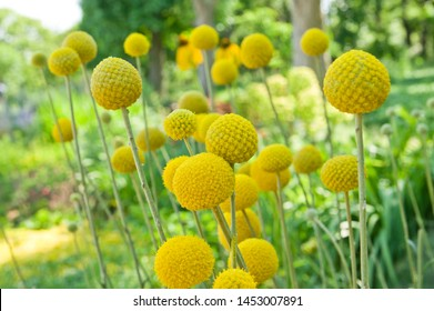 """The name of these flowers is """"Drumstick"""". Scientific name is Craspedia globosa."""