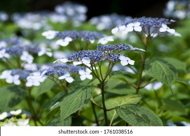 The name of these flowers is H. m. f. normalis. 			Scientific name is Hydrangea macrophylla.