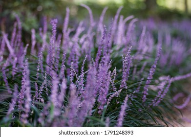 The name of these flowers is Liriope. Scientific name is Liriope muscari. It is still in a bud state.