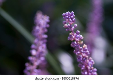 The name of these flowers is Liriope. Scientific name is Liriope muscari.