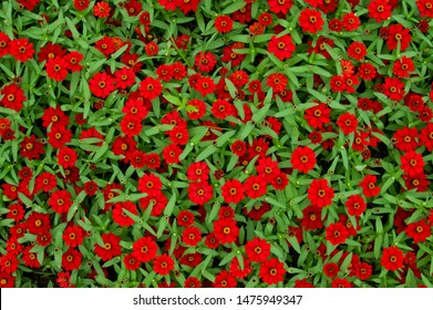 The name of these flowers is narrow-leaf zinnia, creeping zinnia. Scientific name is Zinnia angustifolia.