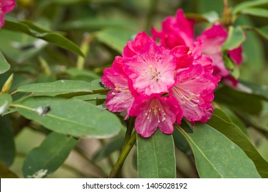 "The name of these flowers is "" Rhododendron"". These Rhododendrons name is Peach pie. Scientific name is Rhododendron subgenus Hymenanthes."