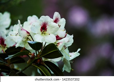 The name of these flowers is Rhododendron .These Rhododendrons name is Regent.Scientific name is Rhododendron subgenus Hymenanthes.