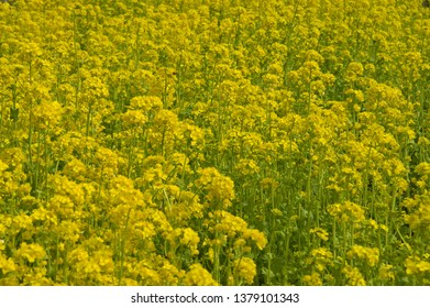The name of these flowers is Turnip rape, Chinese colza. Scientific name is Brassica rapa L. var. nippo-oleifera (syn. B. campestris L.)