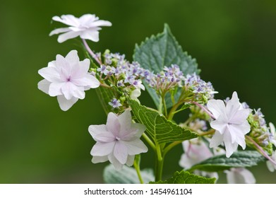 The name of these Hydrangea macrophylla is Sumida-no-hanabi. Scientific name is Hydrangea macrophylla. Origin is Japan.