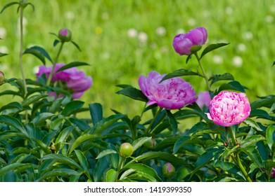 The name of these peonies is Monsieur Jules Elie. Scientific name is Paeonia lactiflora.