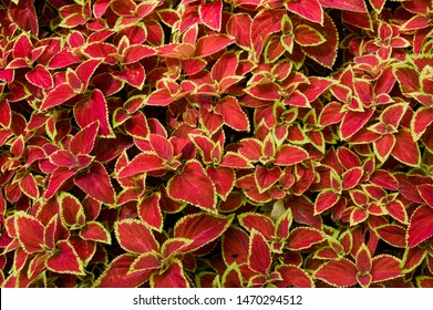 The name of these plants is Coleus. Scientific name is Coleus.