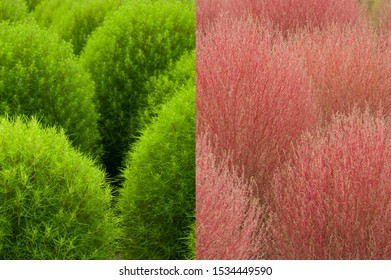 The name of these plants is Summer cypress. Scientific name is Bassia scoparia (L.)  The leaf color changes from green to red.