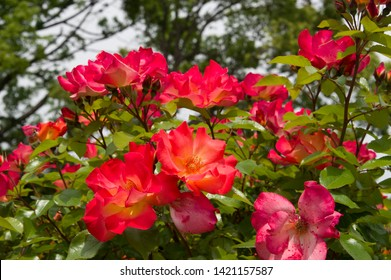 """The name of these roses is """"Playboy""""."""
