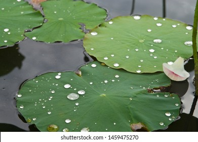 The name of this flower is  Lotus.  Lotus leaves have a water repellent effect.  Scientific name is Nelumbo nucifera. This is the site of Fujiwarakyo ruin in Nara,Japan.