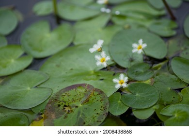 The name of this flower is Water snowflake. Scientific name is Nymphoides indica.