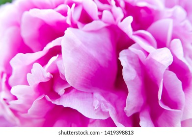 The name of this peony is Monsieur Jules Elie. Scientific name is Paeonia lactiflora.