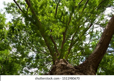 The name of this plant is Bald cypress. Scientific name is Taxodium distichum.