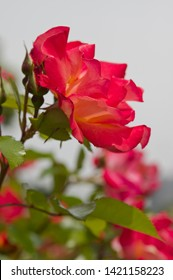 """The name of this rose is """"Playboy""""."""