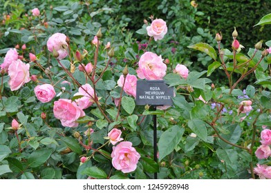 Named variety of pink rose