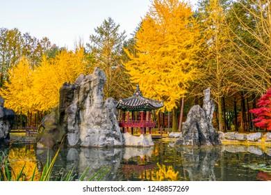 Nami Island in autumn and Yellow Leaves seoul,South Korea.