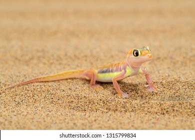 Namib Sand Gecko - Pachydactylus rangei, beautiful small gecko endemic in southwest Africa, Namib desert, Walvis bay, Namibia.