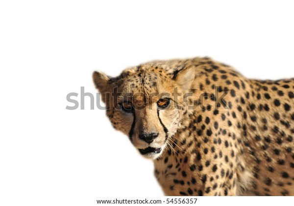Namibia - cheetah on a white background