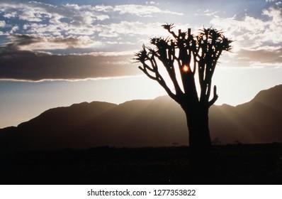 Namibia, Damaraland, View of alone Aloe Dichotoma (Quiver Tree) against sunrise