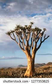 Namibia, Damaraland, View of alone Aloe Dichotoma (Quiver Tree)