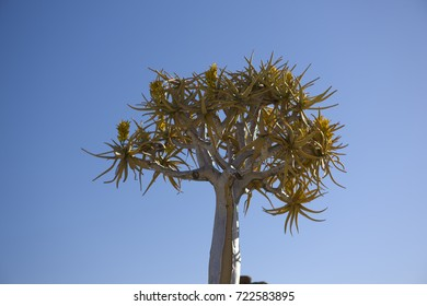 Namibia, dragon tree